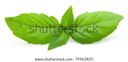 Fresh basil leaves isolated on white background - stock photo