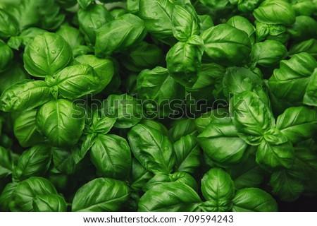 Fresh basil on a dark background. Green basil. Green basil on a dark background. Food background. A lot of basil - Shutterstock ID 709594243