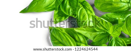 Fresh basil on a gray background. Green basil.  Food background. A lot of basil. Long banner