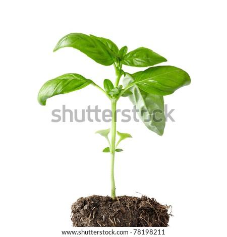 fresh basil plant #78198211