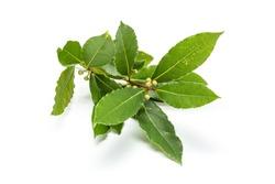 Fresh bay laurel twig with leaves isolated on white background. Laurus nobilis