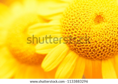 Fresh beautiful chamomile closeup on blurred background. Top view. Copy space. #1133883296