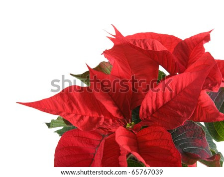 fresh beautiful green and red poinsettia (Euphorbia pulcherrima)  plant isolated on white background