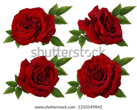 Fresh beautiful red rose with dewdrops isolated on white background with clipping path