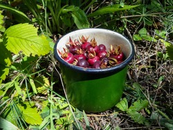 Fresh berries of wild rose in a green metal mug on a green grass background. Gifts of the steppe