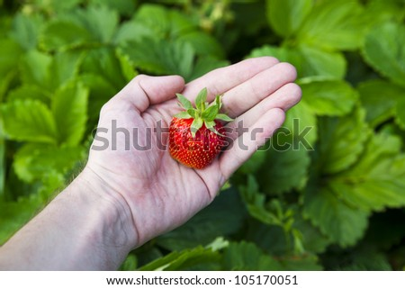 Fresh berry in the hands on the background of leafs