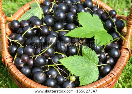Fresh blackcurrants fruits in basket with leaves on grass sunlight.Healthy diet.