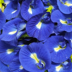 Fresh Blue Flowers Clitoria ternatea, Asian pigeonwings