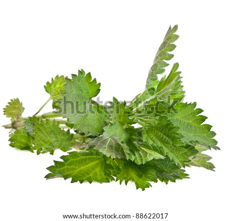 fresh branch nettle isolated on white background