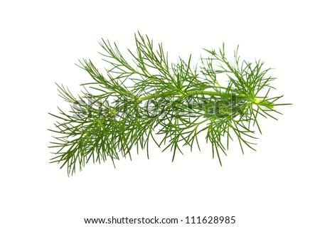 Fresh branch of fennel