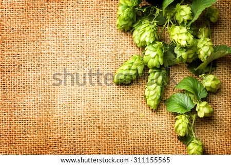 Fresh Branch of Hop with leaves close up on Burlap background. Hop close up. Ingredients for Beer. Brewing beer ingredients. Brewery concept. Texture burlap backdrop. Copy space for your text