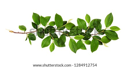 Fresh branch with green leaves isolated on white background Foto d'archivio ©