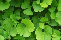 Fresh bright green ginkgo biloba leaves pattern. Natural foliage background. Ginkgo tree branches in garden