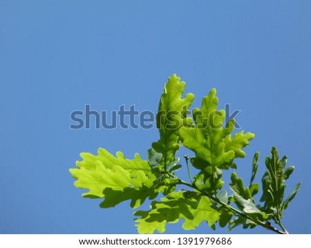 fresh bright green oak tree branch under blue sky with white clouds. spring freshness concept. outdoors and nature. copy space. copy space. latin name Fagaceae. genus Quercus. Beech family.