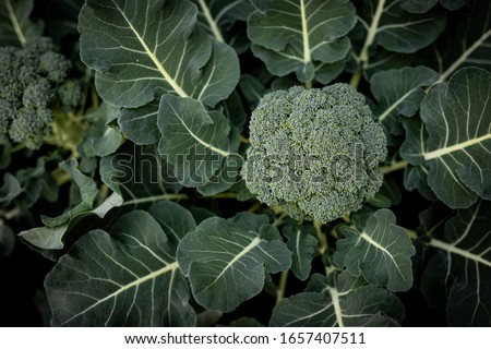 Fresh Broccoli green vibrant. This Broccoli is still planted in the soil and not picked up yet. Health, Broccoli, nutrition, green, fresh, vegetarian,
