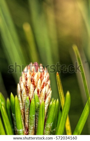 fresh budding pine needles up close after the rain/ pine needles up close/ growing in glorious nature.  #572034160