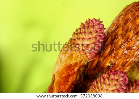 fresh budding pink pine cones up close after the rain/ pine cones up close/ growing in glorious nature on a green background #572038006