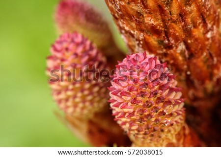 fresh budding pink pine cones up close after the rain/ pine cones up close/ growing in glorious nature on a green background #572038015