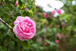 Fresh Bulgarian pink rose on natural background with place for text. Organic natural concept. Tea rose rosebush