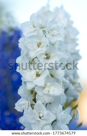Fresh bunch of  natural beautiful flowers on the field. Delphinium white flowers blooming flowers. Delphinium white flowers growth in garden