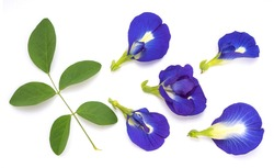 Fresh butterfly pea flower with green leaf isolated on white background, Bluebellvine , cordofan pea, clitoria ternatea isolated on white.