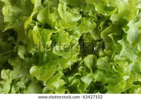 fresh butterhead  organic lettuce close up background