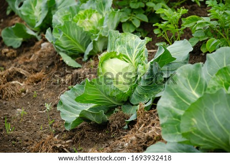 Fresh cabbage from farm field. View of green cabbages plants.Non-toxic cabbage.Non-toxic vegetables.Organic farming. Сток-фото ©