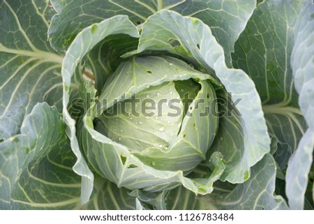 Fresh cabbage head with dew closeup. Suitable for any purprose use. #1126783484