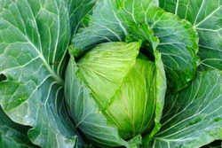Fresh cabbage in harvest field, Organic vegetable background in freshness atmosphere farm on mountain with mist in morning, Cabbage are growing in garden