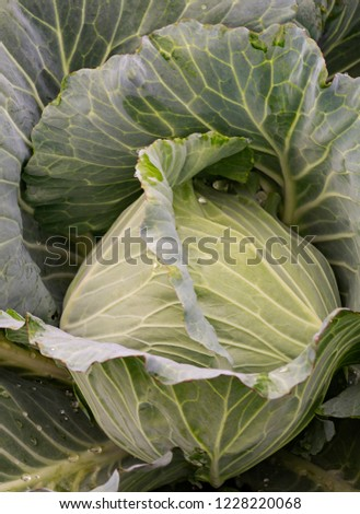 Fresh cabbage in the morning is covered with dew #1228220068