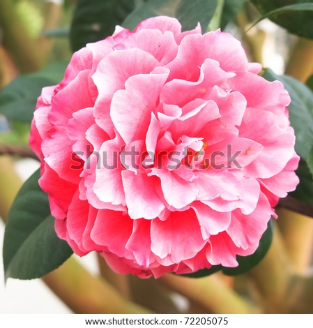 fresh camellia