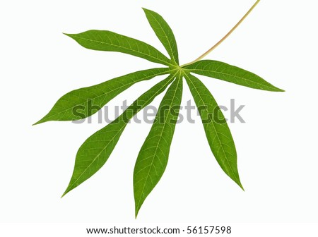 fresh cassava leaf on white insulated background - stock photo