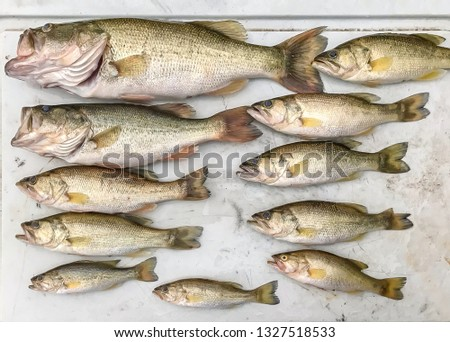 Fresh Caught Fresh Water Bass:  Batch of fresh caught fresh water bass displayed horizontally on a flat tray. #1327518533
