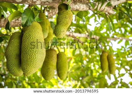 Fresh Cempedak 'Artocarpus integer' on a tree.  Stock fotó ©
