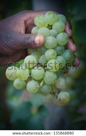 Fresh Chardonnay grapes i on a person's hand. Shallow depth of field.