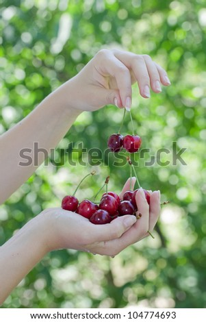 Fresh cherries in the woman`s hand. New harvest photo