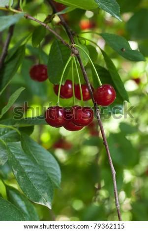fresh cherries on the tree