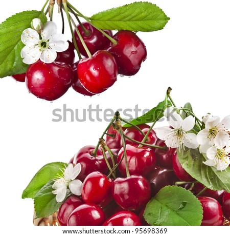 fresh cherries with flowers isolated on white background