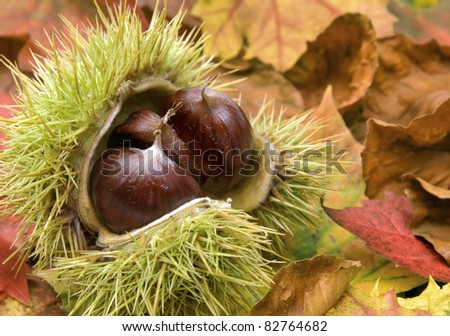 Fresh chestnuts with open husk on dry autumn leaves