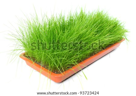 Fresh chives growing from pot. Tasty food ingredient. Chives are reported to have a beneficial effect on the circulatory system. They also have mild stimulant, diuretic, and antiseptic properties.
