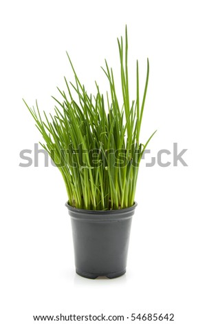 Fresh chives plant in black pot over white background - stock photo