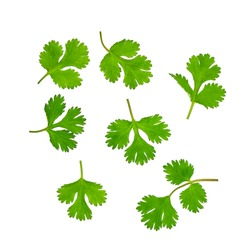 Fresh cilantro isolated on a white background. Top view.