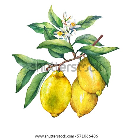Fresh citrus fruit lemon on a branch with fruits, green leaves, buds and flowers. Hand drawn watercolor painting on white background.