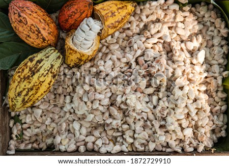 Fresh cocoa pod cut exposing cocoa seeds, Cocoa Beans and Cocoa Fruits, ripe cacao fruit. After removing the cacao seeds from the cacao pods before fermentation.