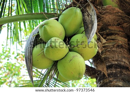 Fresh coconut on the tree