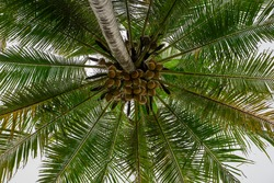 fresh coconut on the tree, coconut cluster on coconut tree