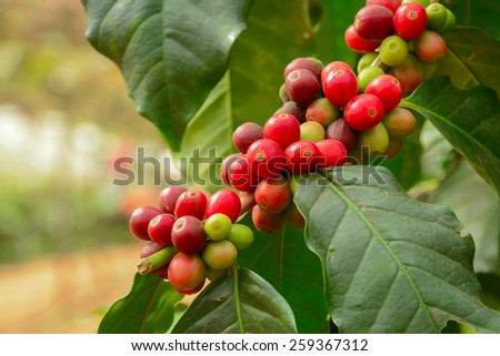 Fresh coffee beans on branch of coffee plant - Arabica coffee