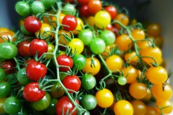 Fresh colorful red, green and yellow cherry tomatoes on a branch. Shallow depth of field