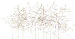 Fresh common bent grass Agrostis isolated on white background. Spikelet flowers wild meadow plants.