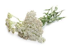 Fresh common yarrow flowers isolated on white background